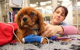 Massey University vet examining a dog