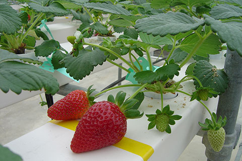 Strawberries growing in horticulture unit