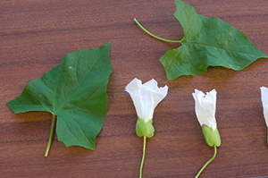 Great bindweed leaf shapes and flowers