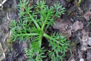 Onehunga weed seedling