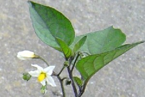 black nightshade N3.jpg