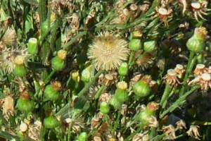 Broad-leaved fleabane flower heads