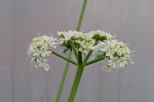parsley dropwort N1.jpg