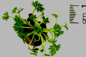 Parsley piert plant with scale