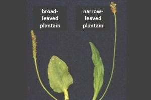 plantain leaves N1.jpg