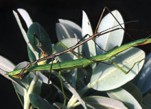 evolution-stick-insect.jpg