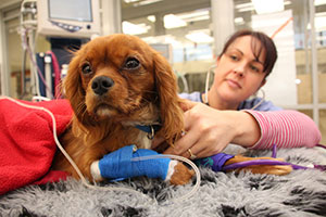 Massey University vet examining dog