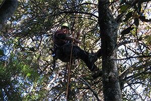 Volunteer abseiling down tree