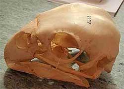 kakapo-skull-1.jpg