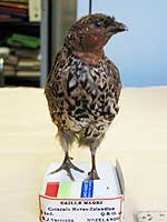 quail-NZ-extinct.jpg
