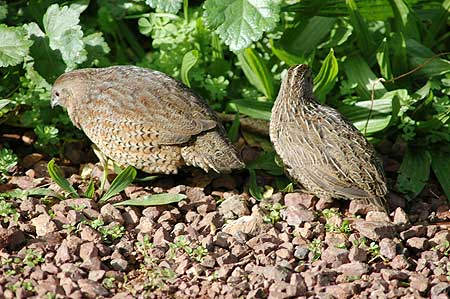 quail-male-female-australian-brown.jpg