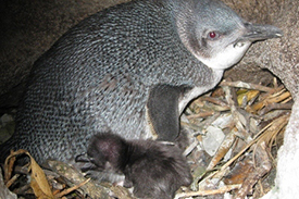 Little blue penguin with chick
