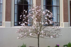 A blossom tree outside the old main building