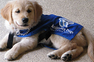 Golden Labrador puppy training to be a guide dog