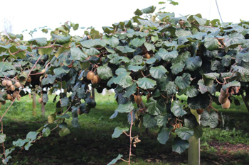 Kiwi fruit vines