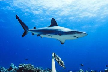 Global study raises grave concerns for reef sharks