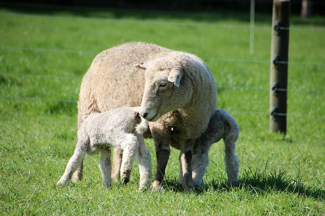 Top tips for lambing success