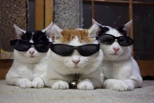 Cats wearing glasses cats with glasses glasses on cats The three cats